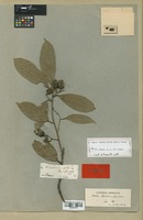 Type of Laurus nitida Ruiz & Pav. [family LAURACEAE]