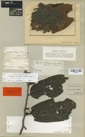 Isolectotype of Myristica hostmannii Benth. [family MYRISTICACEAE]