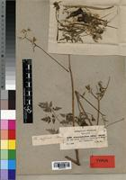 Isotype of Anthriscus sylvestris var. abyssinica A. Rich. [family APIACEAE]