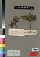 Isotype of Agrocharis melanantha Hochst. [family APIACEAE]