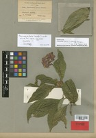 Isotype of Psychotria bella Standl. [family RUBIACEAE]