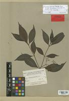 Isotype of Psychotria fortuita Standl. [family RUBIACEAE]