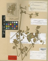 Type of Solanum carmanicum Schönb.-Tem. [family SOLANACEAE]