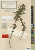 Isotype of Urtica buchtienii H. Ross [family URTICACEAE]