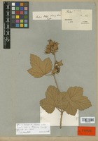 Isotype of Rubus rolfei S. Vidal [family ROSACEAE]