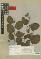 Holotype of Helicteres involucrata Moric. [family STERCULIACEAE]