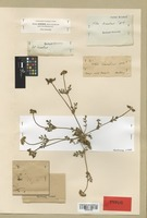 Syntype of Velaea decumbens Benth. [family UMBELLIFERAE]