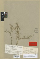 Isotype of Sisymbrium mandonii E. Fourn. [family CRUCIFERAE]