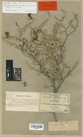 Isotype of Bauhinia uniflora S. Watson [family LEGUMINOSAE]