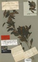 Isotype of Chrysophyllum guilleminianum A. DC. [family SAPOTACEAE]