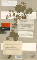 Holotype of Alchemilla obtusa Buser [family ROSACEAE]
