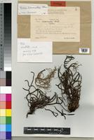 Holotype of Usnea anormalis Motyka [family LICHENES]
