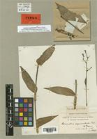 Holotype of Commelina aequinoctialis P. Beauv. [family COMMELINACEAE]