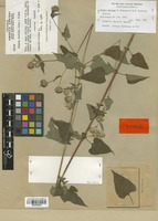 Isotype of Simsia molinae H. Rob. & Brettell [family COMPOSITAE]