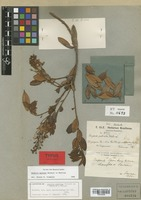 Isolectotype of Bejaria puberula Mansf. & Sleumer [family ERICACEAE]