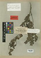Isotype of Osyris abyssinica A. Rich. [family SANTALACEAE]