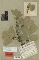 Lectotype of Strychnos unguacha A. Rich. var. polyantha Gilg [family LOGANIACEAE]