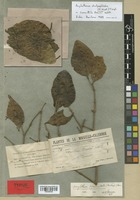 Isotype of Loranthus francii Schltr. [family LORANTHACEAE]