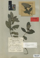 Isotype of Psychotria brenanii Hepper [family RUBIACEAE]