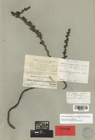 Isotype of Alectra parasitica A. Rich. [family OROBANCHACEAE]
