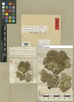 Lectotype of Parmelia ferax Müll. Arg. [family LICHENES]
