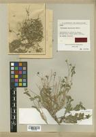 Isotype of Pentanema prasinurum Rech. f. [family COMPOSITAE]