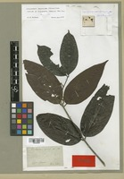 Isotype of Diplopterys paralias A. Juss. [family MALPIGHIACEAE]