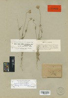 Lectotype of Scabiosa persica Boiss. [family DIPSACACEAE]