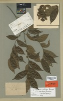 Isolectotype of Casearia montana Gardner [family FLACOURTIACEAE]
