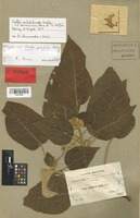 Isotype of Croton pilulifer Rusby [family EUPHORBIACEAE]