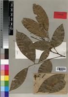 Isotype of Lychnodiscus brevibracteatus Fouill. [family SAPINDACEAE]