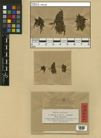 Isotype of Jungermannia auriculata Wilson & Hook. [family JUNGERMANNIACEAE]