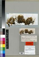 Holotype of Cladonia centrophora Müll. Arg. [family LICHENES]