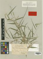 Lectotype of Panicum virgultorum Hack. [family GRAMINEAE]