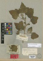 Type of Xanthium sibiricum Widder [family COMPOSITAE]