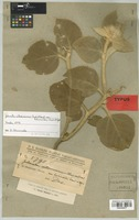 Type of Julocroton villosissimus Chodat & Hassl. var. hibiscoides Chodat [family EUPHORBIACEAE]