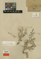 Lectotype of Astragalus eriopodus Boiss. [family LEGUMINOSAE]