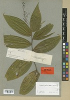 Isotype of Clidemia gracilis Pittier [family MELASTOMATACEAE]