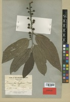 Type of Leucosyke leytensis Merr. [family URTICACEAE]