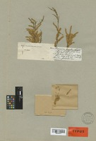 Isotype of Tamarix hispanica Boiss. [family TAMARICACEAE]