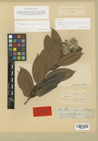 Isotype of Pterolepis striphnocalyx Cogn. var. grandifolia Cogn. [family MELASTOMATACEAE]