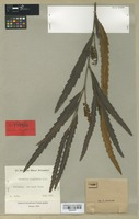 Isotype of Grevillea longifolia R. Br. [family PROTEACEAE]
