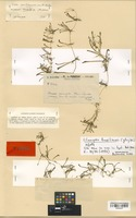 Type of Lilaeopsis carolinensis J. M. Coult. & Rose var. minor A. W. Hill [family UMBELLIFERAE]