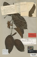 Isotype of Tacsonia rohriana DC. [family PASSIFLORACEAE]