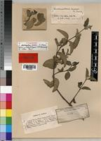 Isolectotype of Neuracanthus scaber S. Moore [family ACANTHACEAE]