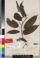 Holotype of Oncoba glauca P. Beauv. [family FLACOURTIACEAE]