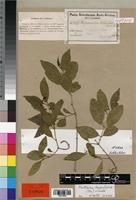Isotype of Hippocratea schlechteri Loes. [family HIPPOCRATEACEAE]