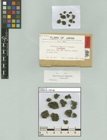 Isotype of Notothylas temperata J. Haseg. [family NOTOTHYLADACEAE]