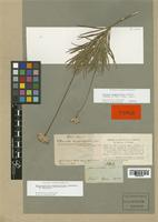 Isotype of Chresta angustifolia Gardner [family COMPOSITAE]
