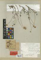 Isotype of Leucoptera oppositifolia B. Nord. [family COMPOSITAE]
